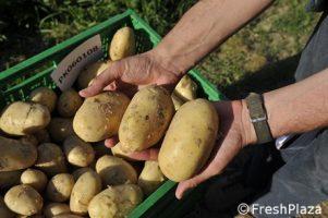 Sara' questa la patata del futuro?